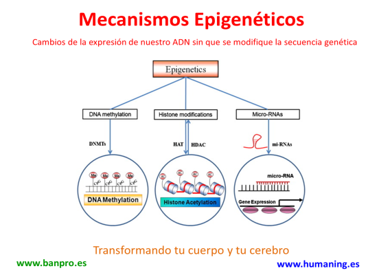 mecanismos epigeneticos